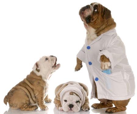 인내: bulldog doctor helphing two puppy patience at the vet