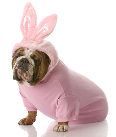 stocky: english bulldog wearing pink easter bunny costume with reflection on white background