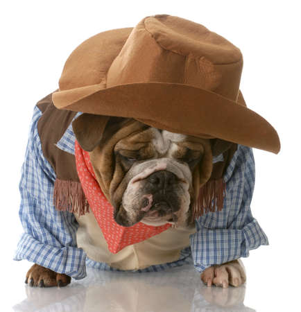 cowboy up: english bulldog dressed up in cowboy costume with depressed expression