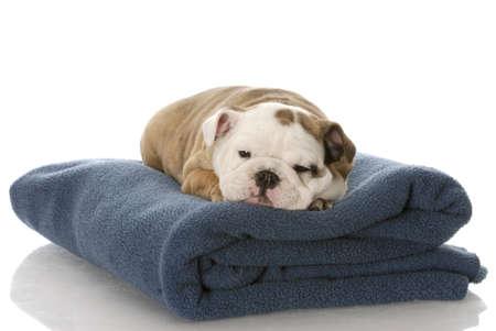 white blanket: nine week old english bulldog puppy sleeping on a blue blanket