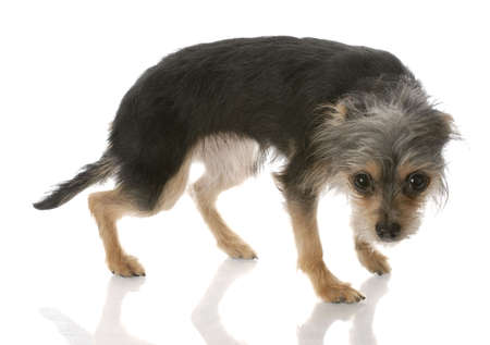 frighten: yorkshire terrier mixed breed standing with guilty looking expression Stock Photo