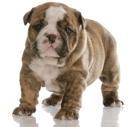 brindle: four week old brindle english bulldog puppy with reflection on white background Stock Photo