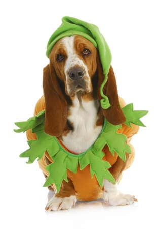 basset: perro disfrazado para Halloween - Basset Hound que lleva traje de calabaza que se sienta en el fondo blanco