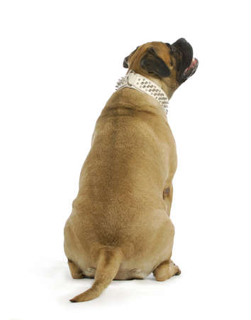looking at viewer: dog looking up - bull mastiff sitting with back to viewer looking up