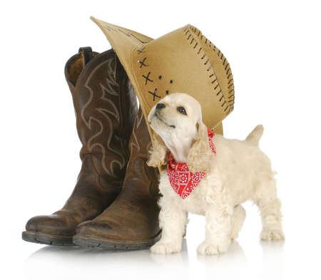 country western: country dog - american cocker spaniel puppy standing beside western boots and hat howling on white background - 8 weeks old