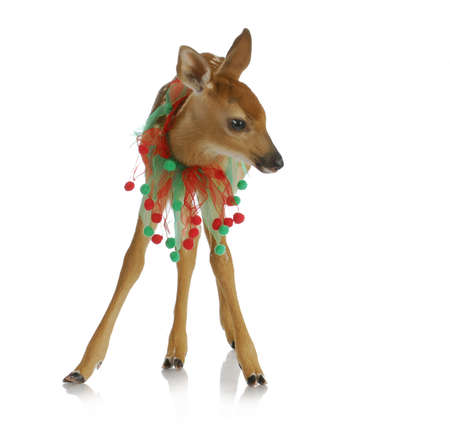 baby deer: christmas deer - baby fawn with green and red ribbon around neck
