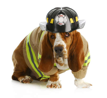 basset hound dressed up like a fire fighter isolated on white backgroun
