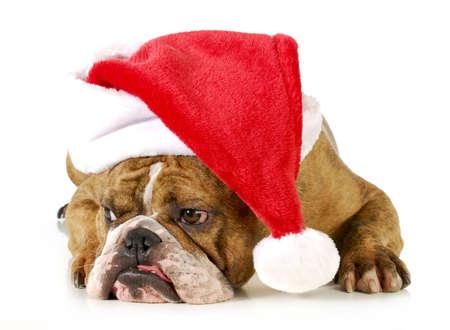 grumpy: santa hond - Engels bulldog dragen kerstmuts tot vaststelling van op een witte achtergrond Stockfoto