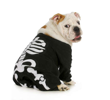 skeleton: dog skeleton - english bulldog wearing skeleton costume with funny expression