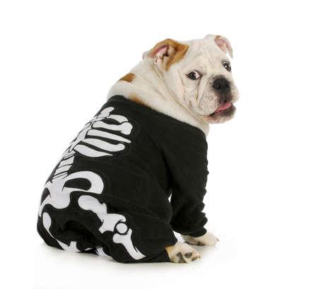 esqueleto: perro esqueleto - Ingl�s bulldog llevar traje de esqueleto con expresi�n divertida Foto de archivo