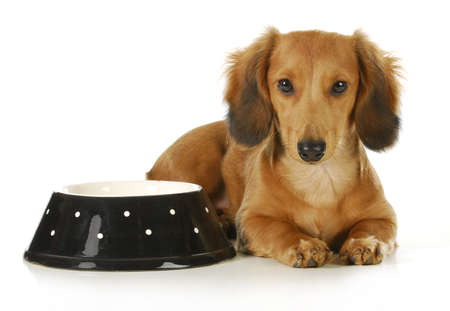 beside: feeding the dog - long haired dachshund laying beside a bowl of dog food Stock Photo