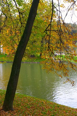Linden with yellow leaves on coast of a pond with green water in park Stock Photo