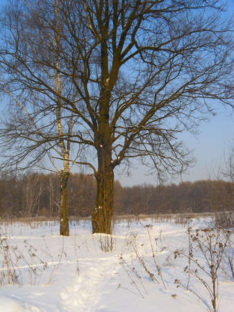 Oak and birch in a snow field on a background of a forest
