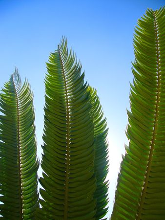 Backlit Cycad Leaves against a blue sky photo