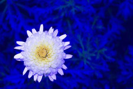 tweak: A  daisy thats had a bit of tweak in post-processing