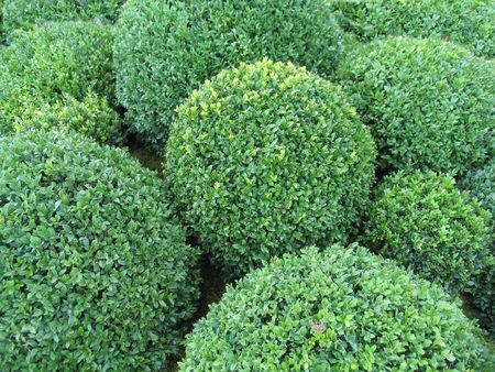 nicely: Box bushes nicely cut like balls.