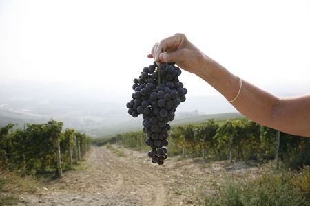 nebbiolo: Female farmer with a bunch of ripe Nebbiolo grapes for the famous Barolo wine - Piemonte - Italy. Stock Photo
