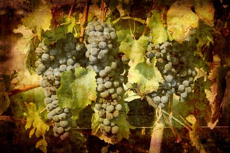 Artistic work of my own in retro style - Postcard from Italy. - Ripe Nebbiolo grapes used for Barolo wine