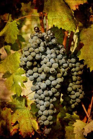 nebbiolo: Artistic work of my own in retro style - Postcard from Italy. - Ripe Nebbiolo grapes used for Barolo wine