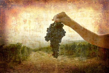 Artistic work of my own in retro style - Postcard from Italy. - Ripe Nebbiolo grapes - Piedmont. Stock Photo - 1933004