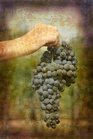 Artistic work of my own in retro style - Postcard from Italy. - Ripe Nebbiolo grapes - Piedmont. Stock Photo - 1933351