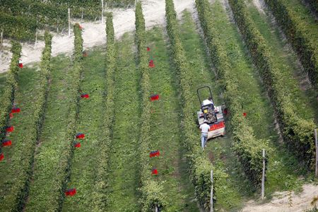 nebbiolo: Picking up boxes with red Nebbiolo grapes for Barolo wine after cutting - Piedmont - Italy.
