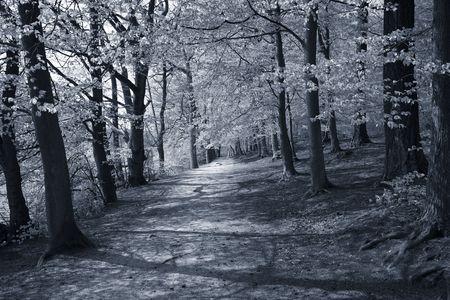 duotone: Danish spring beech forest. Duotone.