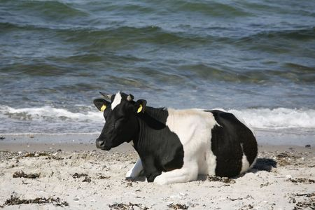 cud: Cow by the sea chewing the cud. Stock Photo