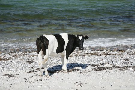 cud: Cow standing by the sea. Stock Photo