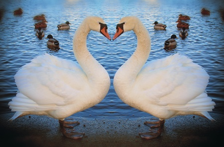 denmark: Two dreaming mute swans in low evening light.