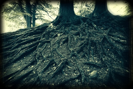 Spooky old analouge capture of very old beech tree roots in a Danish forest                    photo