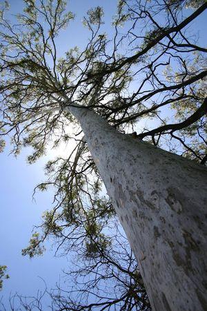 towering: Buscan un �rbol de altura a la cubierta anterior, �rbol de goma, Australia