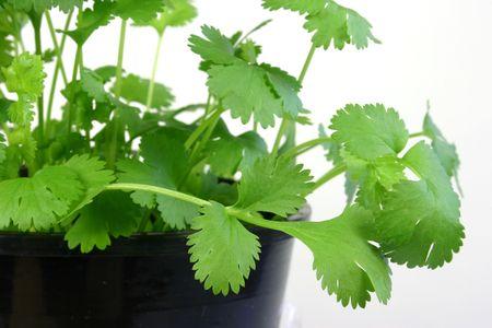 cilantro: Cierre de cilantro Herb