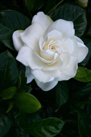 gardenia: Beautiful white gardenia flower on shrub Stock Photo