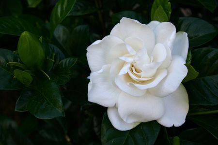 Hermosa flor blanca gardenia en arbustos Foto de archivo - 276620
