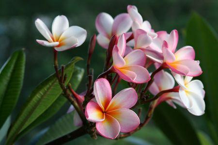 Plumeria  frangiapani flowers photo