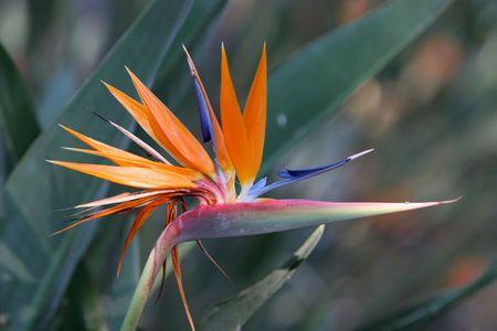 regina: Close up of bird of paradise flower (regina) Stock Photo