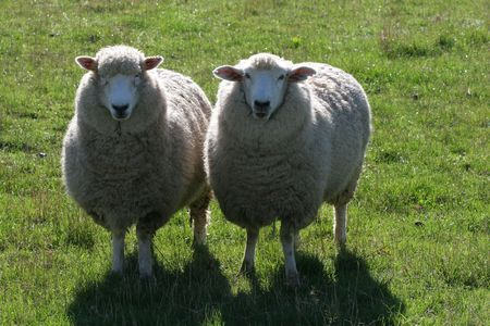 backs: two sheep standing in green pasture  paddock with sunlight on their backs