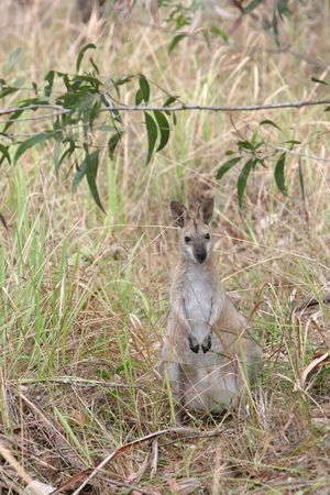 marsupial: australian wallaby in the bushland