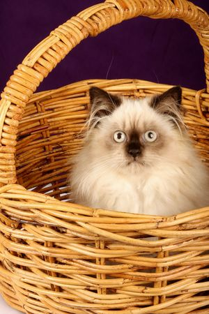himalayan cat: close up of himalayan persian kitten in cane wicker basket