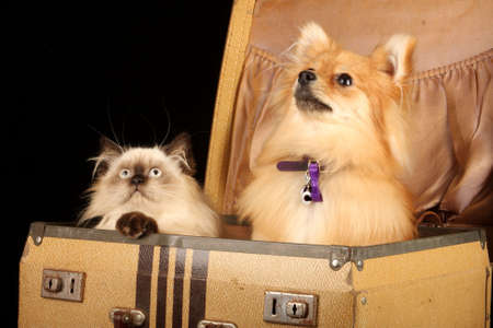 cat grooming: close up of pomeranian puppy dog and himalayan persian kitten in old fashioned suitcase against black background