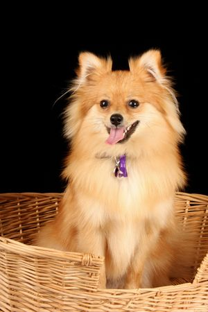 cane collars: close up of pomeranian puppy dog in cane wicker basket against black background