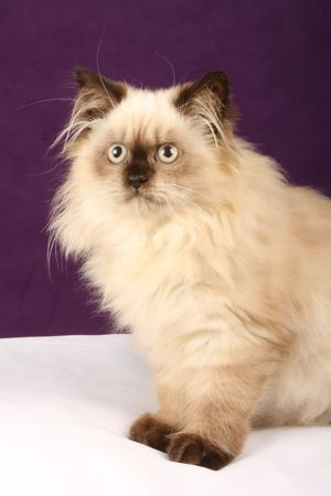 himalayan cat: close up of himalayan persian kitten against purple and white background Stock Photo