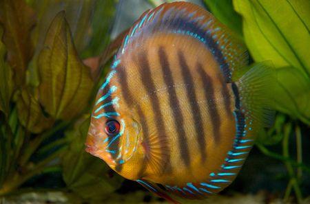 pez disco: Discusi�n de peces en el tanque  Foto de archivo