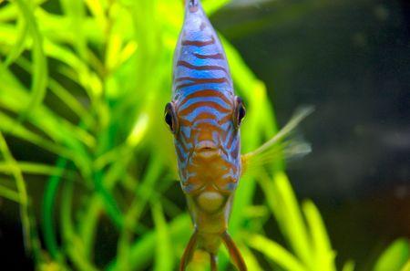 Blue Discus fish full-face Stock Photo - 402668