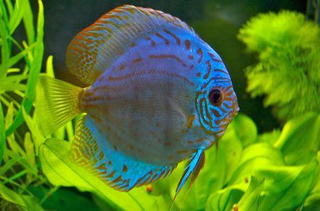 pez disco: Discusi�n del pescado azul  Foto de archivo