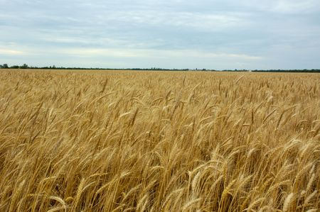 reaping: field of wheat