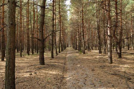 cutting in a pine forest