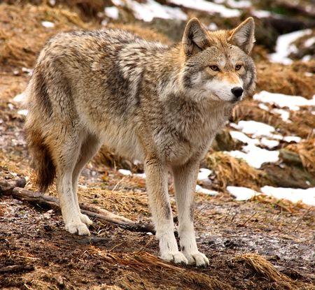 quadruped: Coyote Looking Ahead