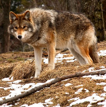 quadruped: Coyote Looking at the Camera on a Spring Day Stock Photo